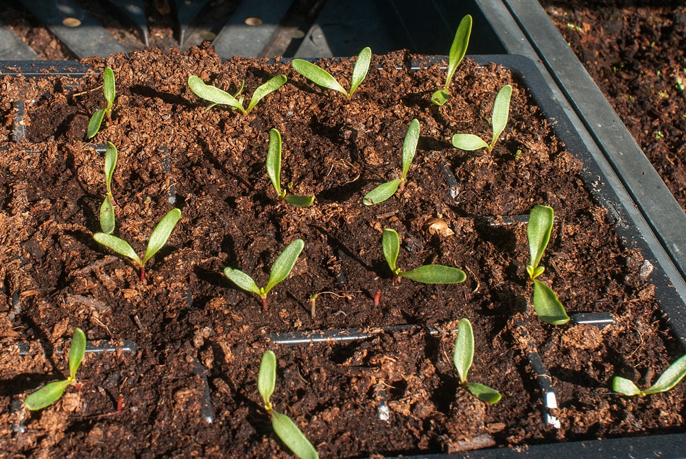 Spinach Seedings Bringing Up Baby Right