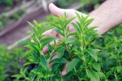 stevia-plant-care