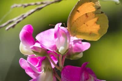 sweet-peas-flower