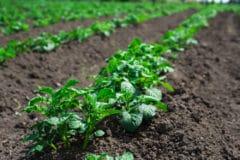 title-where-do-potatoes-grow