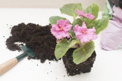 transplanting-african-violets