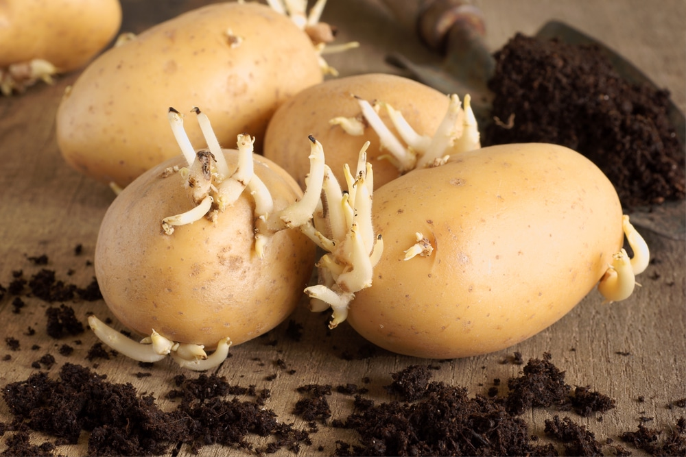 What Are Seed Potatoes How To Use Them In The Garden