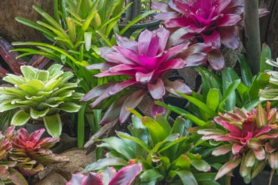 what-is-a-bromeliad