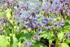 what-is-borage