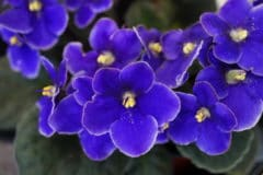 when-do-african-violets-bloom