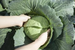 when-to-harvest-cabbage