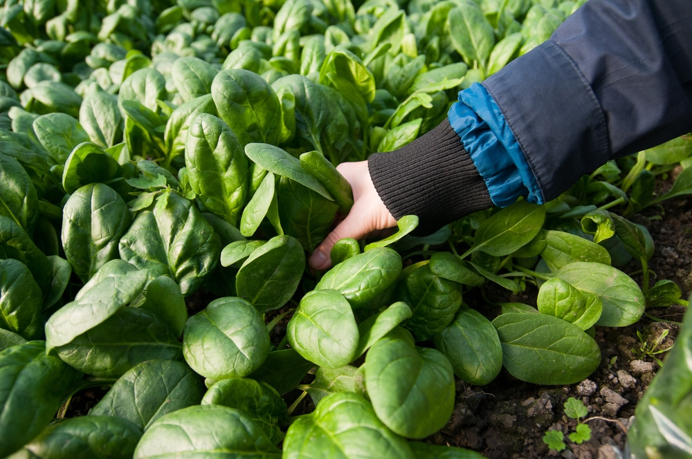 When to Pick Spinach » Top Timing Tips