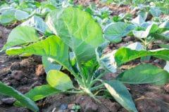 when-to-plant-cauliflower