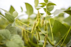 where-are-soybeans-grown