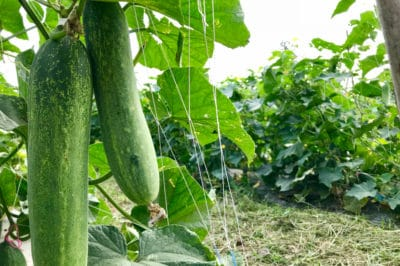 where-do-cucumbers-grow