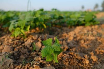 where-does-jicama-grow