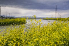wild-mustard-weed