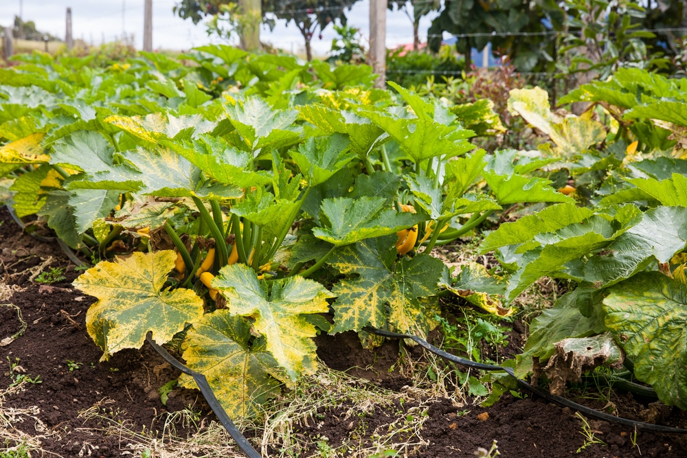 Zucchini plants turning yellow tips on causes solutions zucchini plants turning yellow mightylinksfo