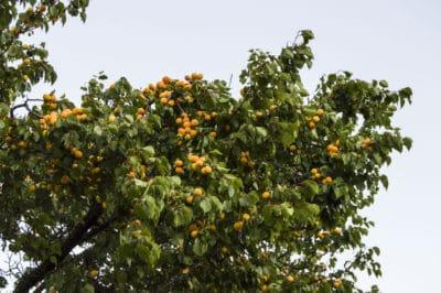 apricot-tree-care