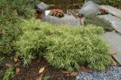 bamboo-bush