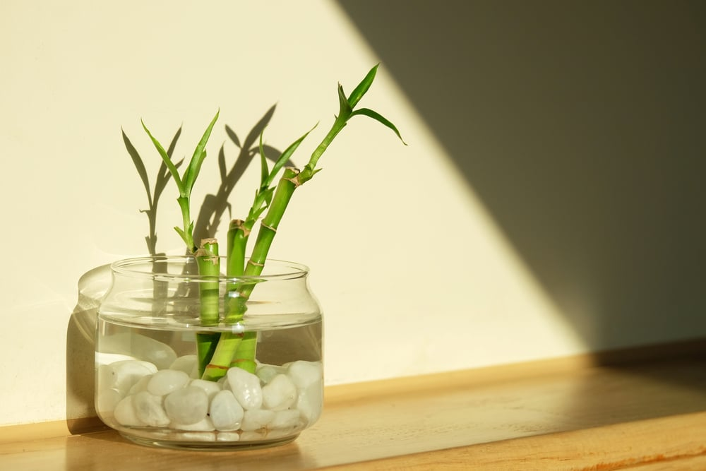 Bamboo In Water Lucky Bamboo Top Tips