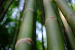 bamboo-stems
