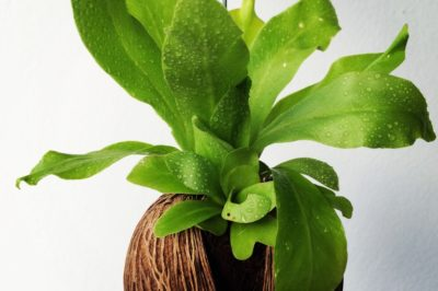 bird-nest-fern-care