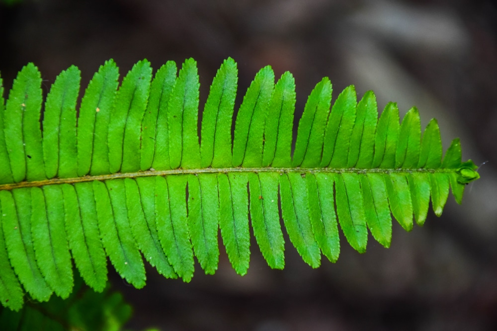 Boston Fern with Brown Leaves » Tips for Help