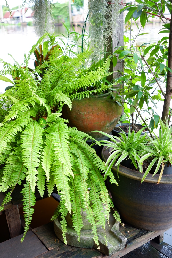 Boston Ferns Indoors Top Growing Tips