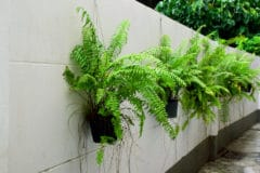 boston-fern-outdoors