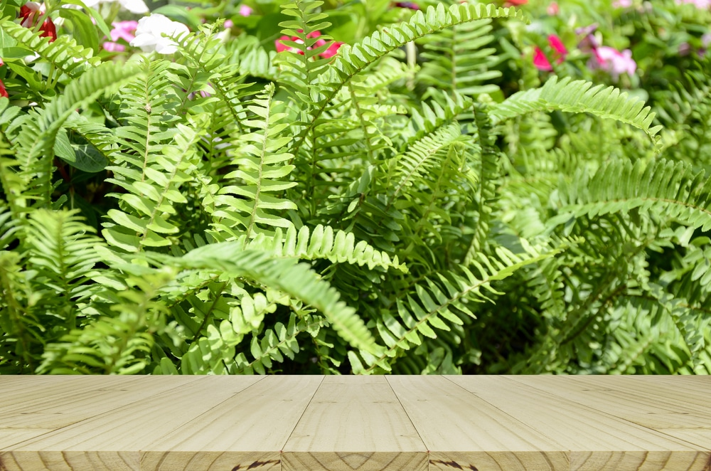 boston fern outside care tips to keep them happy. Black Bedroom Furniture Sets. Home Design Ideas