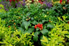 companion-plants-for-peppers