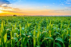 corn-plant-care