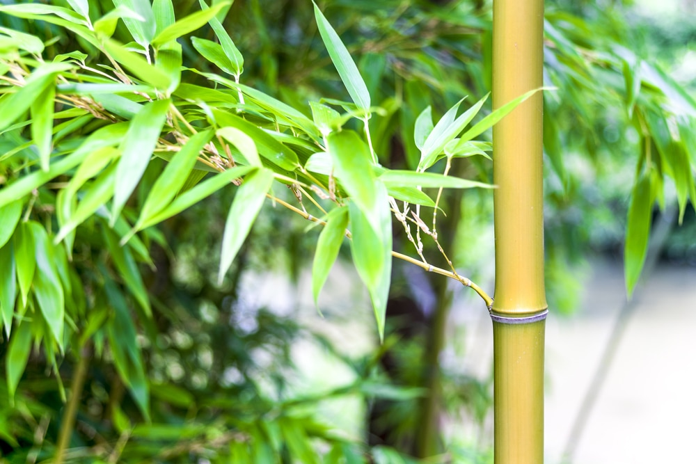Do Bamboo Plants Need Sun Some Like It Hot