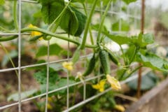 growing-cucumbers-vertically
