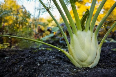 growing-fennel
