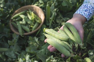 harvesting-peas