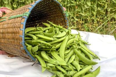 harvesting-snap-peas