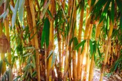 how-does-bamboo-grow