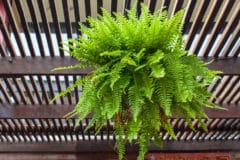 how-often-should-you-water-a-boston-fern