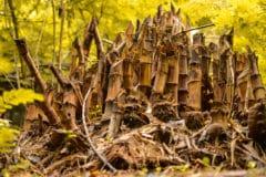 how-to-eradicate-bamboo