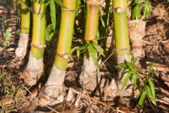 how-to-grow-bamboo-from-cuttings