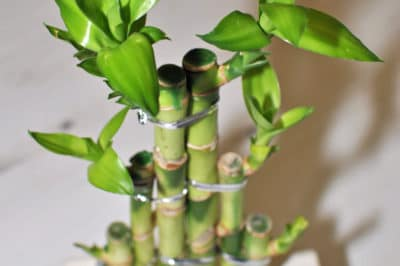 how-to-grow-lucky-bamboo
