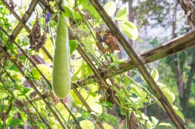 how-to-grow-zucchini-vertically