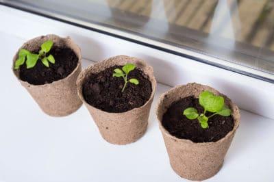 how-to-propagate-eggplant