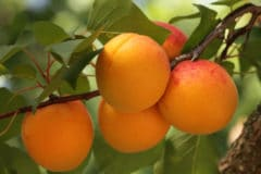 how-to-ripen-apricots