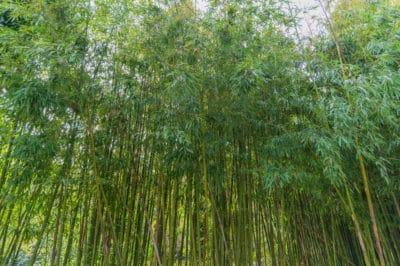 invasive-bamboo
