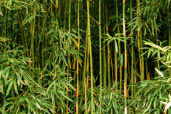 is-bamboo-a-tree