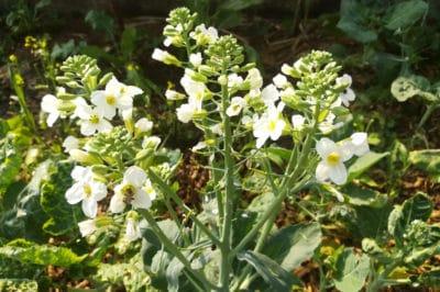 kale-flowers