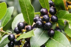laurel-plant