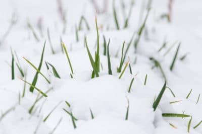onion-snow