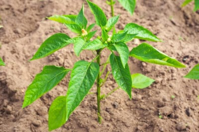 pepper-plants-not-growing
