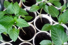 pepper-seedlings