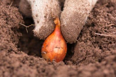planting-onion-sets