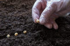 planting-peas-from-seed